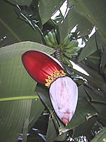 banana plant on isabela island, pacific ocean, mexico